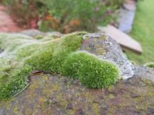 Moss on a rock in Australia.